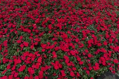 Impatiens Street flower bed. Annual herbaceous plants. Leaves lanceolate, summer flowers, two or three flowers with the same axillary, different colors. Red Stock Photo