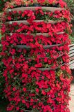 Impatiens Street flower bed. Annual herbaceous plants. Leaves lanceolate, summer flowers, two or three flowers with the same axillary, different colors. Red Royalty Free Stock Photography