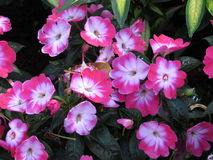 Impatiens Variety - Thailand Royalty Free Stock Image