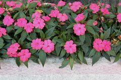 Impatiens waeriana in a pot royalty free stock images