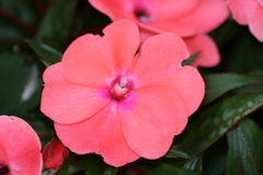 Impatiens walleriana Stock Photos