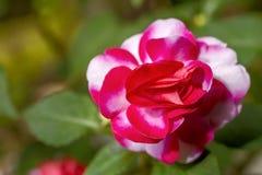 Impatiens walleriana flower Stock Photo