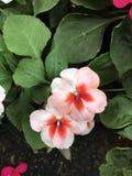Impatiens walleriana oder Note-ich-nicht Blume Lizenzfreie Stockfotografie