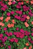 Impatiens Walleriana Sultanii Bezige Lizzie Flowers, Groot Gedetailleerd Kleurrijk Verticaal Achtergrondclose-uppatroon, Purper M royalty-vrije stock foto's
