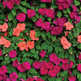 Impatiens Walleriana Sultanii Busy Lizzie Flowers, Large Detailed Colorful Vertical Background Closeup Pattern, Magenta, Purple Royalty Free Stock Photos