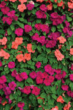Impatiens Walleriana Sultanii Lizzie Flowers occupée, grand modèle vertical coloré détaillé de plan rapproché de fond, magenta, p Photos libres de droits