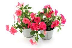 Impatiensbalsamina, twee bloempot, witte achtergrond Stock Afbeeldingen