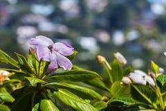 Impatienssodenii bloeit Slechte mensen` s rododendron stock foto