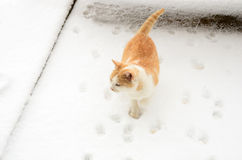 Impatient cat. Impatient ginger cat, waiting anxious for her caretaker, walks in circles in the snow, leaving many paw prints around stock image
