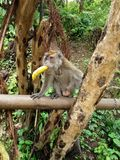 Impatient monkey. This monkey just can& x27;t wait for us to fee him so he just snatch the banana from us Stock Photo
