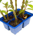 Impatient seedlings in a seedling tray. A blue tray of impatient seedlings with new growth emerging stock images