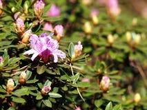 Impeditum di fioritura del rododendro Fotografie Stock Libere da Diritti