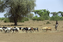 Impending famine and lack of water Ethiopia. Ethiopia, Afar region: In Afar, an ethnic group of semi-nomadic cattle farmers in the vicinity of Awasch is talk of Stock Photography