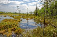 Impenetrable swamp in the Siberia noon. Summer noon in the Siberian taiga near the impassable swamp. The sound of mosquitoes, the smell of wild rosemary and Stock Image