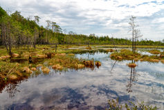 Impenetrable swamp in the Siberia Royalty Free Stock Images