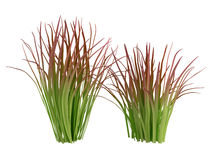Imperata Royalty Free Stock Image