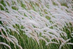 Imperata cylindrica吹在风的cogon草 免版税图库摄影