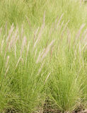 Imperata cylindrica Beauv of Feather grass in garden Royalty Free Stock Images