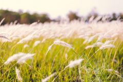Imperata cylindrica Beauv of Feather grass in nature Stock Image