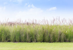 Imperata cylindrica Beauv with grass field Royalty Free Stock Images
