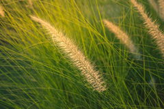 Imperata cylindrica Beauv. poaceae Royalty Free Stock Photography