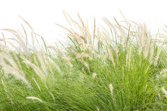 Imperata cylindrica Beauv on white Royalty Free Stock Images