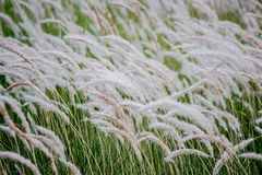 Imperata cylindrica cogon grass blowing in the wind Royalty Free Stock Photography