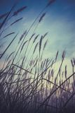Imperata cylindrica cogon grass blowing in the wind,with sunset sky in the background Stock Photo