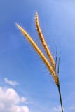 Grass Flower. Grass blue background flower seed stalk Royalty Free Stock Images
