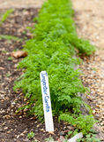 Imperator carrots in home garden Royalty Free Stock Image