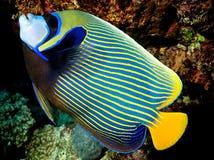 Imperator del Pomacanthus - pesce Imperator di angelo Fotografia Stock