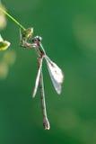 Imperator gris d'or sauvage Sympetrum Fonscolombii d'anax de libellule Photo libre de droits
