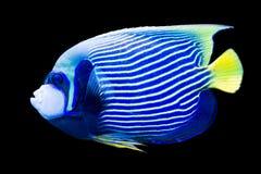 Imperator Pomacanthus - αυτοκράτορας angelfish Στοκ φωτογραφίες με δικαίωμα ελεύθερης χρήσης