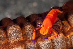 Imperator shrimp Royalty Free Stock Image