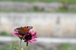 Imperatore del lepidottero della farfalla che si siede sulla zinnia del fiore Fotografia Stock