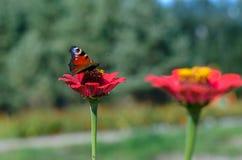 Imperatore del lepidottero della farfalla che si siede sulla zinnia del fiore Immagini Stock
