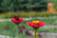 Imperatore del lepidottero della farfalla che si siede sulla zinnia del fiore Fotografia Stock Libera da Diritti