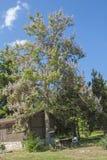Imperatorowej drzewo, princess drzewo lub naparstnicy drzewo, łaciński imię Paul Zdjęcia Stock