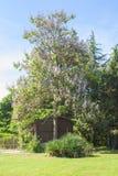 Imperatorowej drzewo, princess drzewo lub naparstnicy drzewo, łaciński imię Paul Obraz Stock