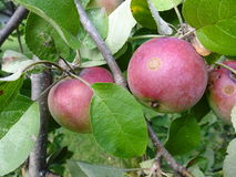 Imperfect apples. Hanging on the branch of the apple tree Stock Image