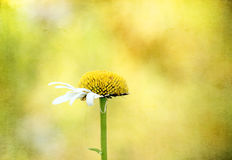Imperfect Daisy. With a golden textured background royalty free stock photography