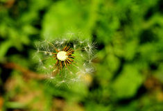 The imperfect of dandelion Stock Photography