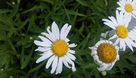 Imperfect white Daisies in sunshine from above with green foliage. Imperfect white Daisies with yellow centers  in sunshine from above with green foliage Stock Image