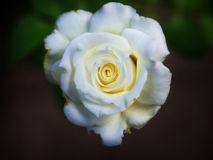 Imperfect White Rose. An imperfect white rose on a dark background royalty free stock images