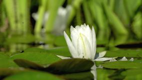 Imperfect white water lily flower stock video footage