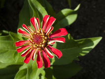 Imperfect Wilting Red Zinnia with Green Leaves Royalty Free Stock Photo