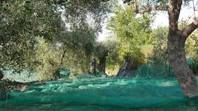 Imperia Włochy, Październik, - 8, 2017: robotnik rolny zbierackie oliwki na sieci, zwolnione tempo Taggiasca lub Caitellier zbier zbiory wideo