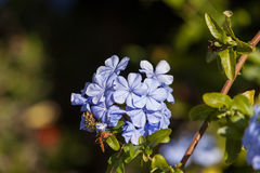Imperial Blue Plumbago, Cape Leadwort Royalty Free Stock Images