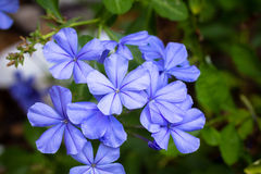 Imperial Blue Plumbago Flower. A Plumbago flower blooms at the end of Summer Royalty Free Stock Image