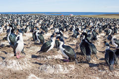 Imperial Cormorant colony with nesting birds, Falkland Islands. Royalty Free Stock Image